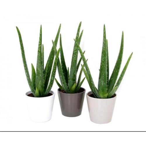Plante Aloe Vera en pot Pot de fleurs publicitaire