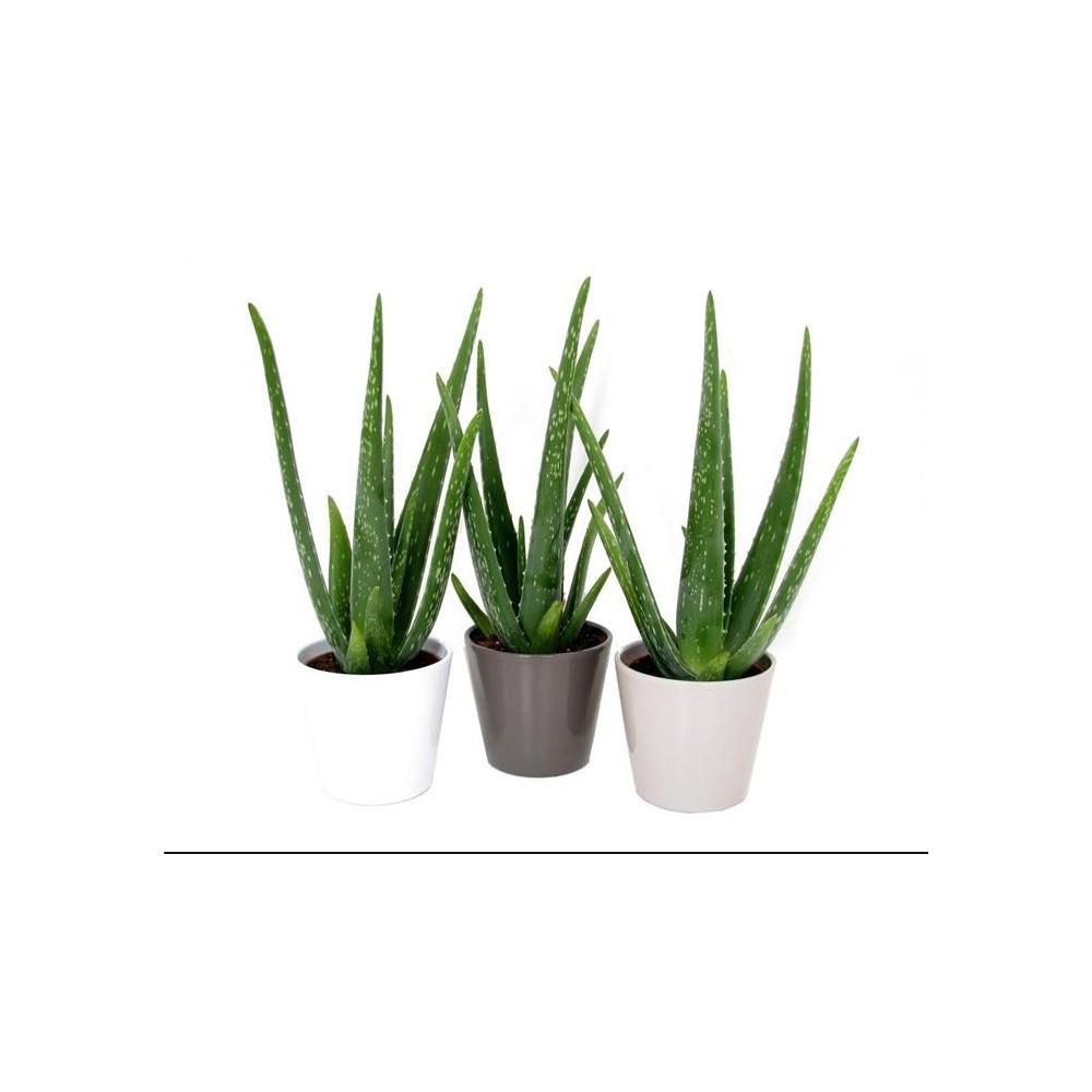 Image Plante Aloe Vera plante aloe vera en pot